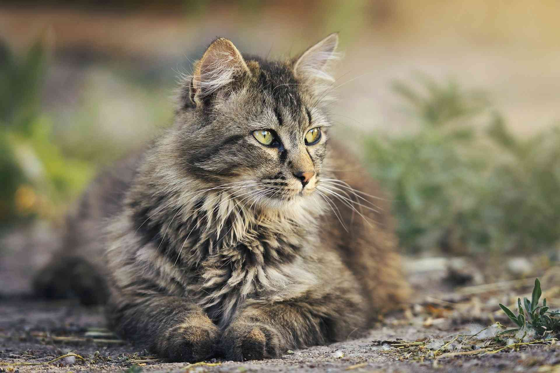 4 Best Royal Canin for Maine Coon Cat Food